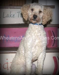 """Happy"" - Miniature Poodle"