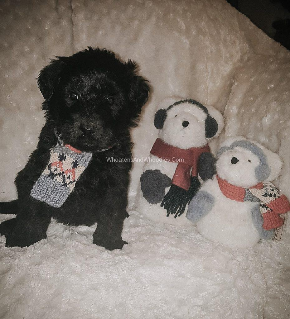 Black Male Whoodle Puppy For Sale