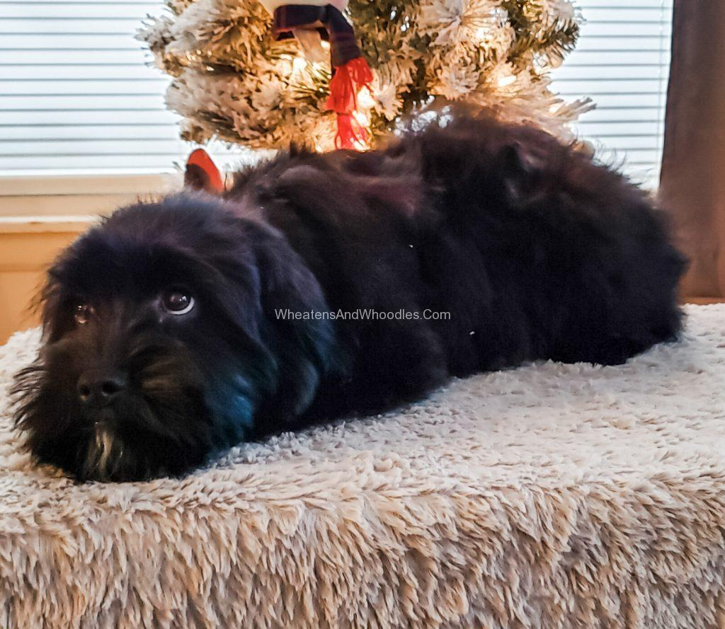 Black female whoodle puppy