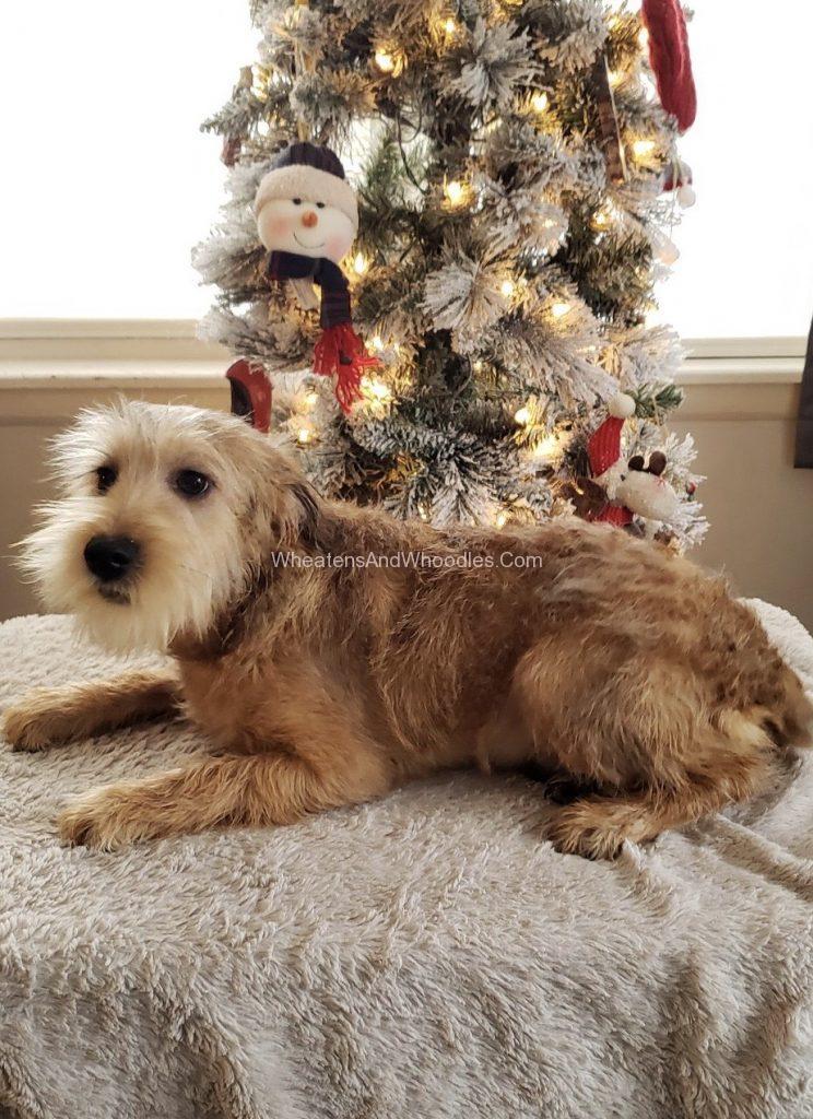 Cream Irish Coat Whoodle Male Puppy