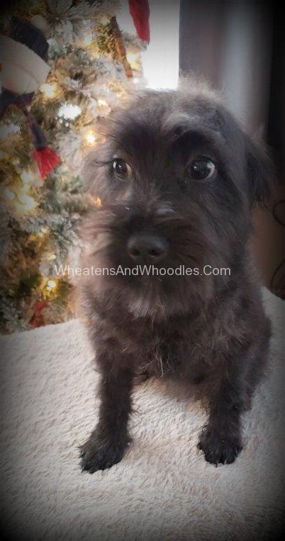 Black Irish Coat Whoodle Puppy Male