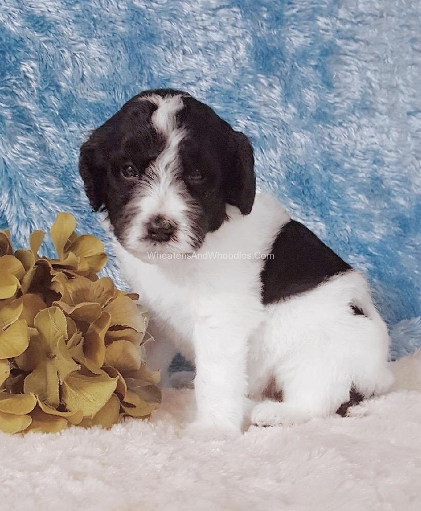 Black And White Parti Whoodle Puppy