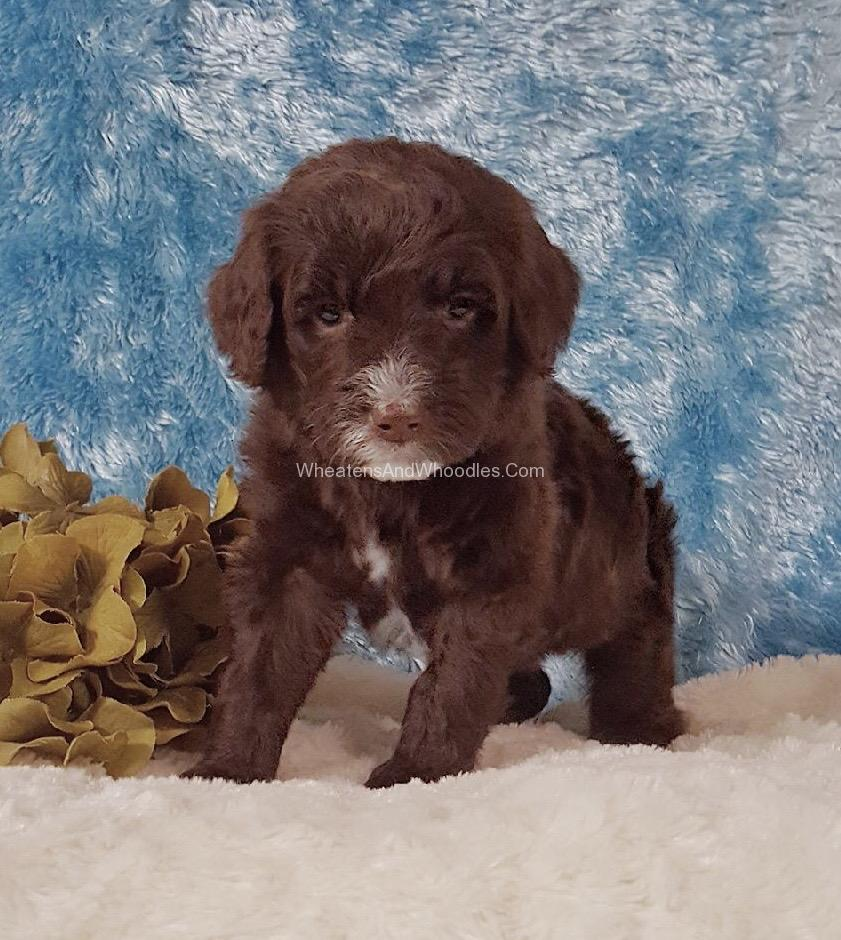 Chocolate Whoodle Puppy