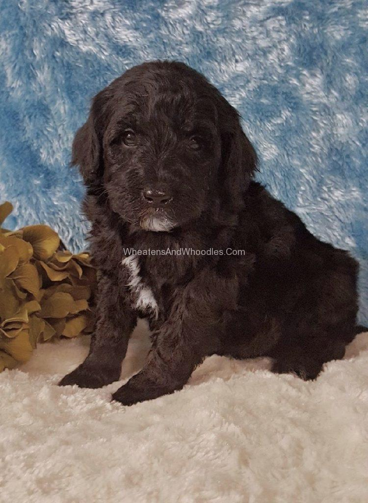 Black Male Whoodle Puppy