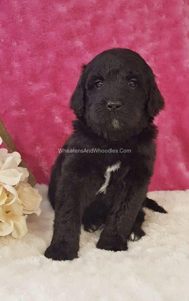 Female Whoodle Puppy