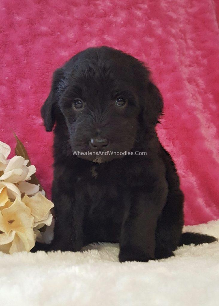Black Whoodle Puppy - Female